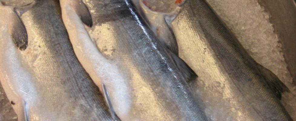 Coho Salmon On Display